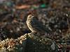 Meadow Pipit (Anthus pratensis). Copyright 2009 Peter Drury