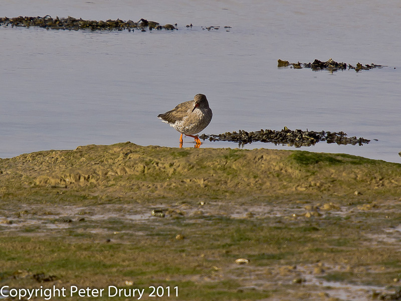 06 March 2011. Redshank at the Oysterbeds. Copyright Peter Drury 2011
