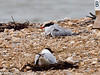Common Tern family. This Tern has two chicks under its wing. Copyright Peter Drury 2010