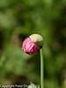Opium Poppy (Papaver somniferum) 'Double flowered'). Flower bud opening.Copyright Peter Drury 2010
