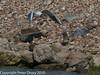 Juvenile gull too close to gull chicks #7. Copyright Peter Drury 2010