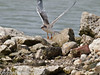 22 July 2010 - Common Tern's first flight. Copyright Peter Drury 2010<br /> Having climbed back to the top of the island, this chick tried again.