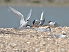A male Tern returning to the nesting site with a fish for its sitting mate. Copyright Peter Drury 2010