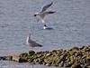 21 March 2011. Black Headed Gull trying to drive off a juvenile Herring Gull on north Island, Oysterbed lagoon.  Copyright Peter Drury 2011