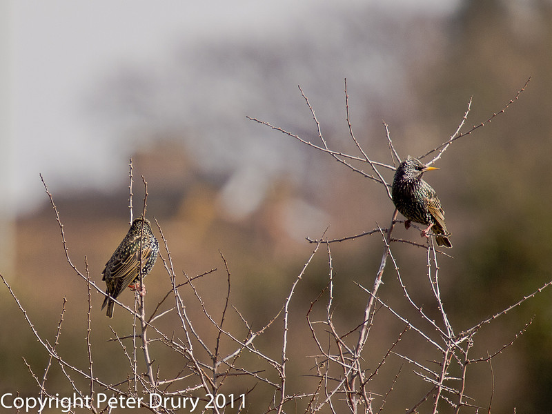 13 March 2011. Starling on the Hayling Billy Trail.  Copyright Peter Drury 2011