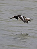 Oystercatcher returning with food for its chick. Copyright Peter Drury 2010