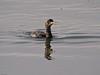Shag (Phalacrocorax aristotelis). Copyright 2009 Peter Drury<br /> Looking for a good fishing site.