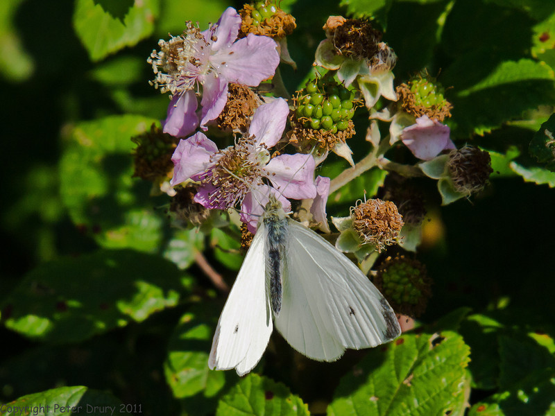 22 July 2011. Small White (female) on the Hayling Billy Trail. Copyright Peter Drury 2011