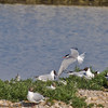 04 July 2011. Common Tern at the Oysterbeds. Copyright Peter Drury 2011