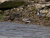 22 July 2010 - Common Tern's first flight. Copyright Peter Drury 2010