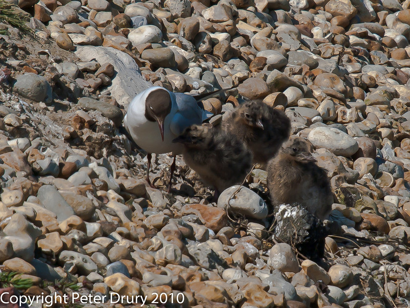 Black -headed Gull chicks waiting for their next meal. Copyright Peter Drury 2010