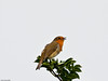 Robin (Erithacus rubecula). Copyright 2009 Peter Drury<br /> This little fella was following me around and sang its heart out at every opportunity.<br /> Oysterbed reserve, Hayling Island
