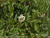 Wild Privit (Ligustrum vulgare). Copyright Peter Drury 2010