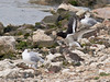 Oystercatcher bringing food to its chick. Copyright Peter Drury 2010
