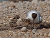 Day old Black-headed Gull chicks. Copyright Peter Drury 2010