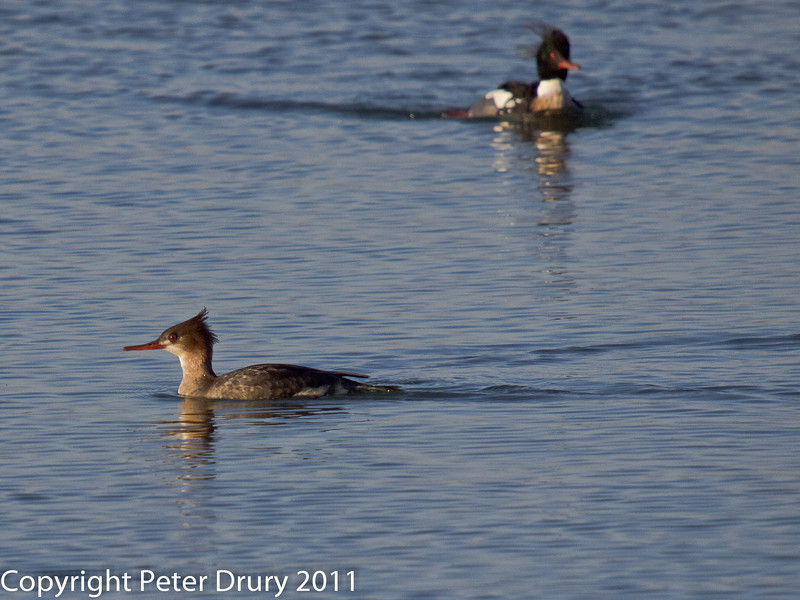 08 February 2011. Red-breasted Merganser in the lagoon at the Oysterbeds. Copyright Peter Drury 2011