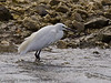 12 Sep 2011 This Little Egret has cleverly placed itself at the north wier where it is protected from the winds by the bund. It is also a good area to find its prey on the falling tide.