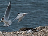This Common Tern vigorously defends its chicks from a Black-headed Gull. The comparitive sizes of these two species can be seen Copyright Peter Drury 2010
