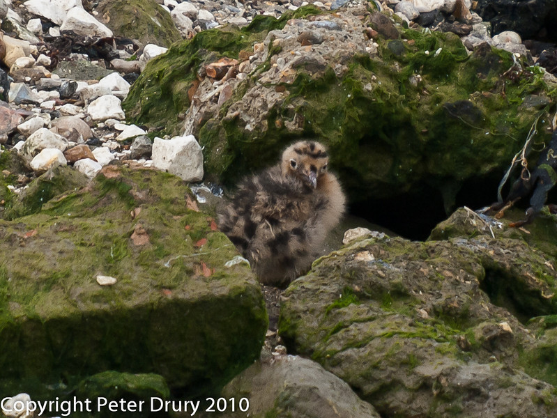 One of the clutch of 3 Black-headed Gull chicks I have been following. It looks to have survived in much better shape from the drizzle than those exposed on top of the island. Copyright Peter Drury 2010