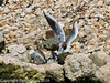 Juvenile gull too close to gull chicks #2. Copyright Peter Drury 2010