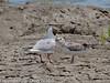 Black-headed gull fledgling begging for food. Copyright Peter Drury 2010