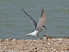 Common Tern (Sterna hirundo).  Its very busy for the males, hardly had he landed and fed the chick than he was off again to find more food. Copyright Peter Drury 2010