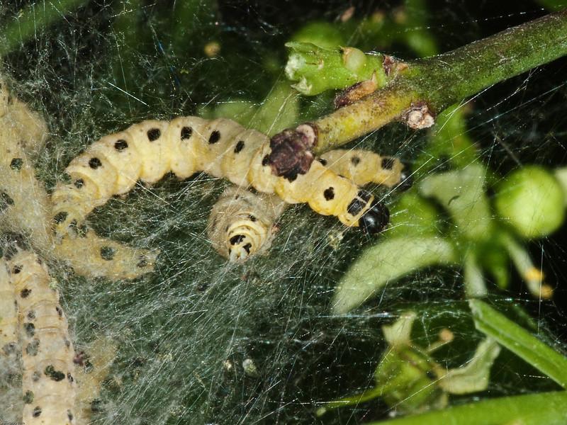 Sawfly larvae. Copyright Peter Drury 2010