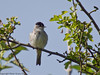 19 May 2011.Male Blackcap (Sylvia atricapilla) at the oysterbeds. Copyright Peter Drury 2011