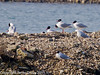 21 March 2011. Mediterranean and black Headed Gulls on north Island, Oysterbed lagoon.  Copyright Peter Drury 2011