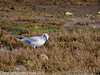 17 February 2011. Black-headed Gull on the marsh near the Hayling Billy Trail. Copyright Peter Drury 2011