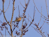 06 March 2011. Chaffinch on the Hayling Billy Trail. Copyright Peter Drury 2011