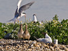 04 July 2011. Common Tern arrives in Black-headed Gull territory. The gull chicks beg for food and the adult gull objects to the Tern's presence. Copyright Peter Drury 2011