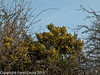 17 February 2011. A first welcoming sight of colour. Gorse in bloom. Copyright Peter Drury 2011