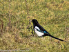 17 February 2011. Magpie near the Hayling Billy Trail.. Copyright Peter Drury 2011
