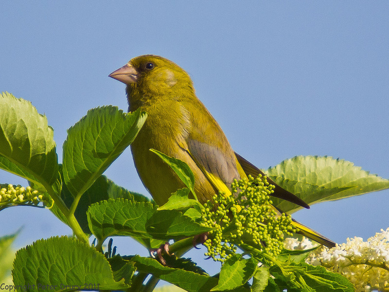 19 May 2011. Greenfinch at the oysterbeds. Copyright Peter Drury 2011