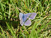 15 Oct 2011 Common Blue butterfly in the marshes alongside the Hayling Billy Trail.