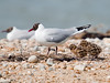 5 day old Black-headed Gull. Meal over and adult moves away. Copyright Peter Drury 2010
