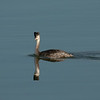 Great Crested Grebe (Podiceps cristatus). Copyright 2009 Peter Drury<br /> Seen in full winter plumage