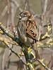 House Sparrow (Passer domesticus). Copyright 2009 Peter Drury<br /> Juvenile male