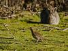 Song Thrush (Turdus philomelos). Copyright Peter Drury 2010