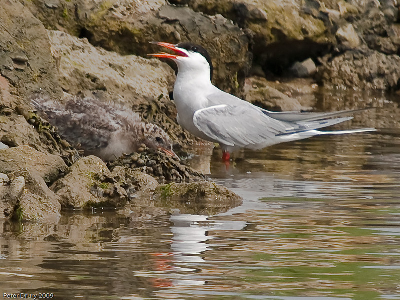 Common Tern (Sterna hirundo). Copyright 2009 Peter Drury<br /> A proud parent with its chick. The chick's tail feathers are just beginning to form.<br /> The old oysterbeds, North Hayling Island