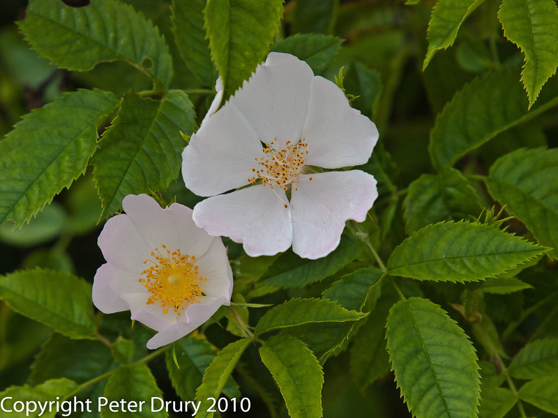 Dog-rose (Rosa canina 'alba') .  Copyright Peter Drury 2010