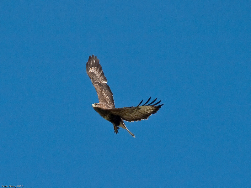 Flying over the fields near the Oysterbeds. Copyright Peter Drury 2010