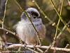 02 March 2011. Long-tailed Tit in the bushes alongside the Hayling Billy Trail. Copyright Peter Drury 2011