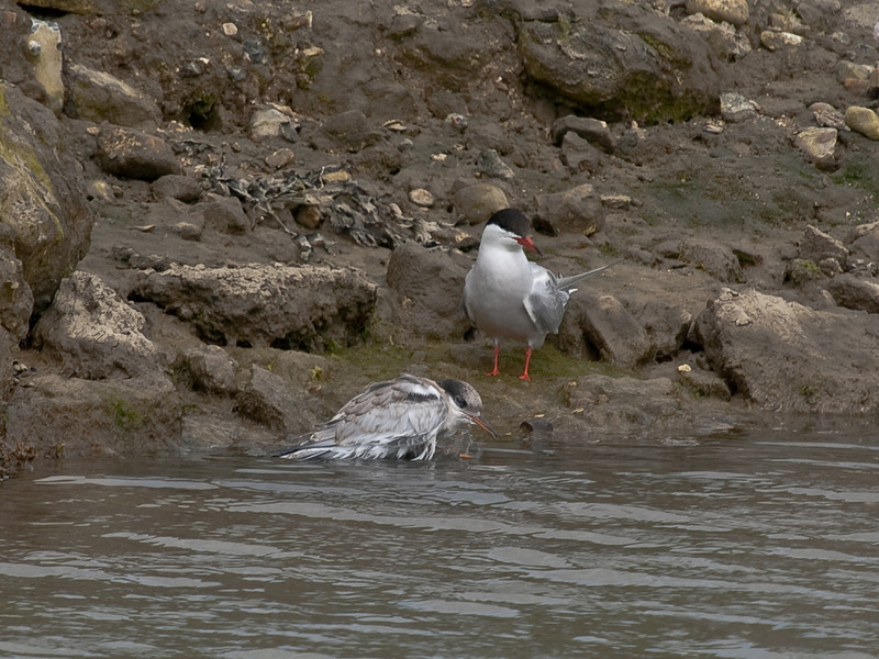 Common Tern (Sterna hirundo). Copyright 2009 Peter Drury<br /> Bath time for the young one under the watchful eye of an adult - 2<br /> Oysterbeds, North Hayling Island