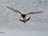 Oystercatcher Looking for place to land and search for food.. Copyright Peter Drury 2010