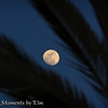Moon Through the Leaves: The moon is nearly full as it is viewed throught the leaves of a palm tree.