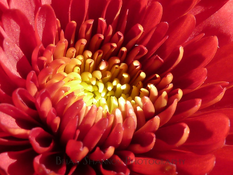 Macro of a Chrysanthemum