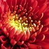 Macro of a Chrysanthemum