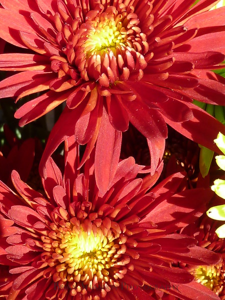 Double Chrysanthemum